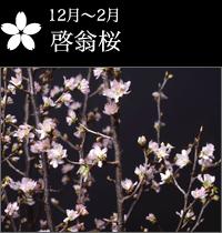 12月〜2月 啓翁桜