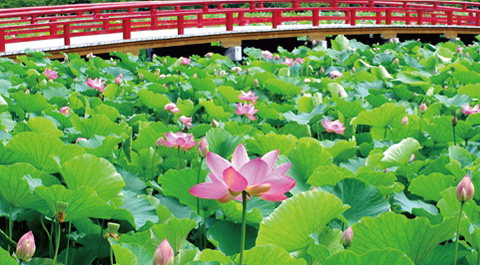 平川市 猿賀公園の蓮